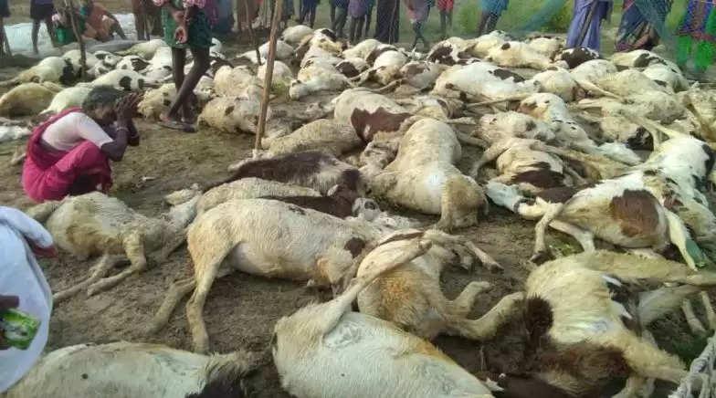 SHEEP DEAD